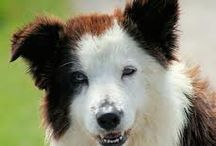 Border Collies / by Glenna Walker