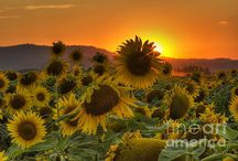 Sunflowers / The flower of Summer. One of the most amazing sights to see is a giant field of sunflowers. Definitely a bucket list item if yo haven't seen them in person. This board is full of all types of sunflower images. All are linked back to may gallery for purchase. I own several myself and suggest them to be printed on Metal. It really makes them stand out!