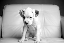 A boxer. { Future new fam member } / by Stephanie Woods