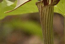 Ontario Canada Wildcrafting Medicinal Plants