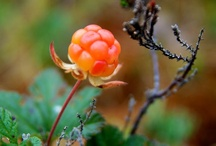Berries, Moss and Lichen
