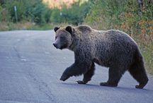 Bears Moose and Deer Oh My