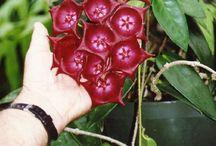 Asclepiadaceae-Hoya (Wax plant)