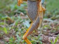 Frog  carater