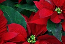 Kerstster - Euphorbia - Poinsettia