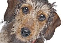 Dachshund Miniature Wire Haired / Dachshunds are very popular in the US and ranked as the seventh most registered breed in 2008. The breed regularly ranks in the top ten across cities of America but remains most popular in Europe. See more at: http://www.noahsdogs.com/m/dogs/breed/Dachshund-miniature-wire-haired#sthash.FfMYpfjk.dpuf www.NoahsDogs.com