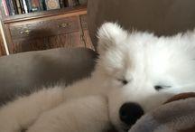 Samoyed ❤️