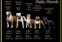 Bully Bred  Puppies