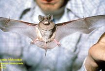 Bonneted Bats / by Grant Stern