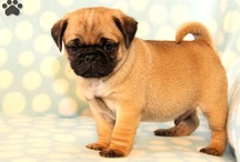 Jug puppy jack Russell cross pug and I want one