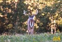 Live Deer at Oak Creek Whitetail Ranch / Oak Creek 2013: www.oakcreekwhitetailranch.com/