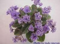 African Violet (Mini)