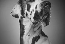 My Great Dane Obsession