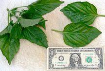 Τυχερά φυτα