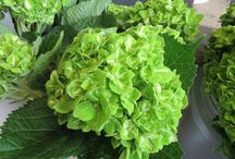 St. Patrick's Day Flowers / Green Flowers to decorate your table, desk or even you (so you do not get pinched, of course).