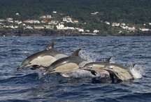 Whales and dolphins / One of the best places in the world to see whales and dolphins, here's a board of some of our favourite cetacean shots taken around the islands