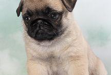 I want a pug