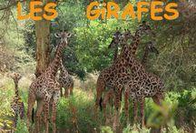 Projecte: Les girafes