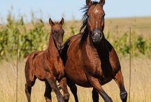 Le Boer Sud Africain / Le Boer Sud Africain est le descendant direct de l'ancien cheval du Cap qui est la première race qui s'est développée en Afrique du Sud et qui est aujourd'hui éteinte. Le Boer Sud Africain a donc les même origines qui sont les chevaux espagnols, l'Arabe et le Barbe, mais il a en plus reçu l'apport de sang du Flamand, du Hackney et du Cleveland Bay.