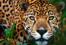 Jaguars <3