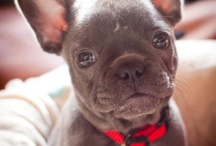 French bulldogs / I love them