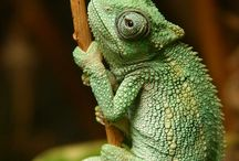 Chamaleons <3