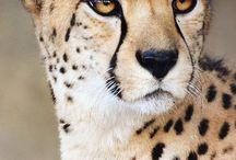 gueopardo