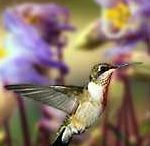 Hummingbirds / by Jan Campsall