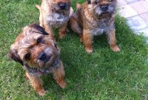 Border Terrier / Race de chiens dont l'origine se situe à la frontière de l'Angleterre et de l'Ecosse