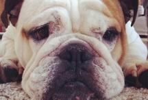 Engelse bulldog buddy