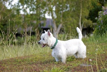 Spencer / My darling little Westie, Spencer / by Rosan Sison-Holmes