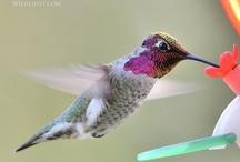 Hummingbirds / by Becky Garteiser