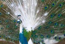 Peacocks/Pou