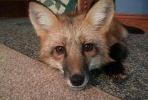 #RedFox / Red Fox