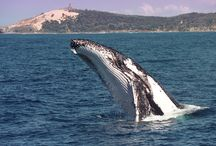 Favourite Photos / Favourite Humpack Whale and Moreton Bay Photos