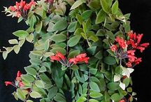 Gesneriads for hanging baskets / Some of our favorite gesneriads for windows or hanging baskets.