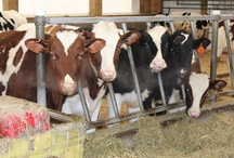 Photo of the Day / by HolsteinWorld DairyBusiness