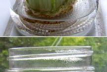 Celery  to grow