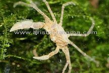 aquascape shrimps and crabs / fresh water crustacean that is suitable for planted tank and aquascape