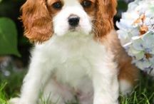 Dogs / King Charles