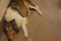 Collies for Rescue / These are Standard Rough Haired Collies - Lassie breed - up for adoption. The shed & bark but they're worth it.