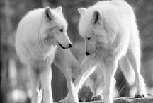 Animals - Wolves