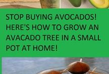 Grow avocado