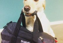 Dogatwork / Follow Dixie the servicedog - working for  Magnus Berglund Director of #Accessibility at Scandic.