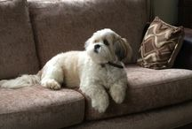 Buster / Our Lhasa Apso