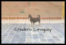 Chihuahuas / Hermosos chihuahuas del criadero Canaguay #criaderochihauhuas #ventacachorros #ventachihuaguacolombia
