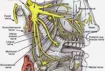 Fogászat Anatomia