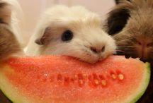 ❤ guinea pigs ❤