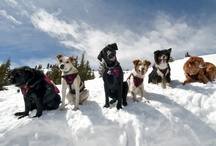 A Dog's Life in Breck / From the ski patrol dogs that work to keep our mountain safe to the dogs in town that just work to nap... we love our hounds in Breckenridge.