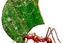 leaf cutter ants / ants